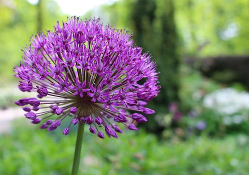 Alium5 by wil1969