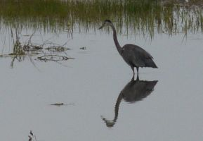 Blue Heron III by PamplemousseCeil