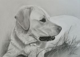 Commission - Labrador 'Linda' by Captured-In-Pencil