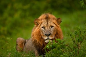 African Lion 66 by catman-suha