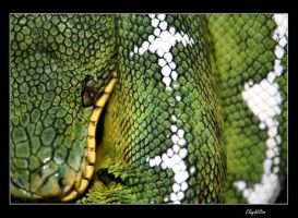 Emerald Tree Boa by claywiltonimages