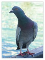 Photo - Pigeon 01 by phantompanther