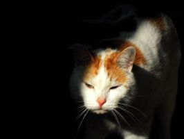 one of my cats by caffabii
