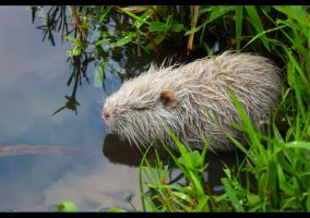 White Water Rat by jnOne
