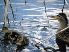 First ducklings of the year! by Aldrea01