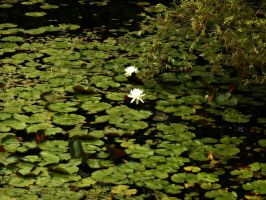 Flowering Lily Pads by livinglove99