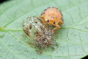 Freshly Moulted Ladybird by melvynyeo