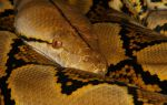 Reticulated Python 2 by mant01