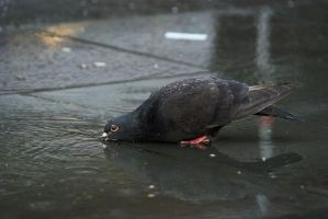 Drinking and bathing pigeon by ArrivingUFO