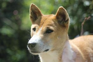 New Guinea Singing Dog 5 by lucky128stocks