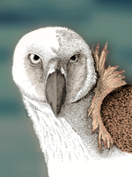 Vulture - colourized by themasterofnone