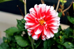 Red and white flower by louise2670