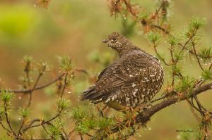 Spruce Grouse by Les-Piccolo