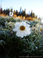 Frosted Daisy by smilejustbcuz