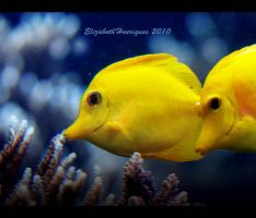 Yellow Tang fish by mariquasunbird1