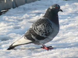 Four-colored pigeon by BioGear