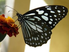 Monarch Butterfly Black and White by kumarvijay1708
