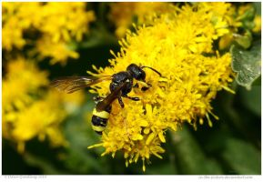 European Tube Wasp by In-the-picture