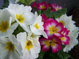 Pink and White Primrose by theNanna