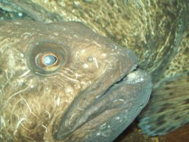 A wolffish closeup by werewolfme2