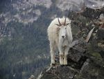 Mountain Goat by yomamaphat