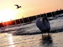 swan and seagull by Heserah