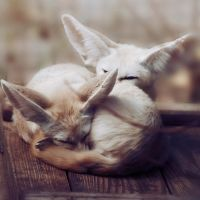 Fennec Foxes by onestepxcloser