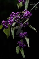 Beauty berry by Sam2103