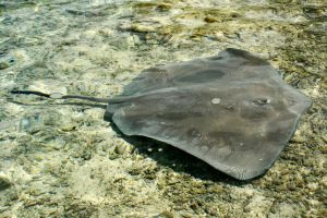 Stingray in Moorea lagoon 3 by wildplaces