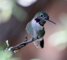 Hummingbird 0125 by mammothhunter