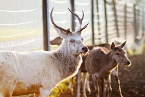 the white stag with the beautiful eyes by riskonelook