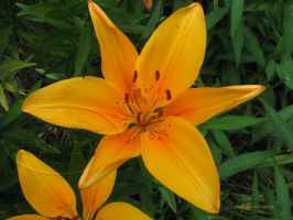 asiatic lily -that golden glow by Foozma73