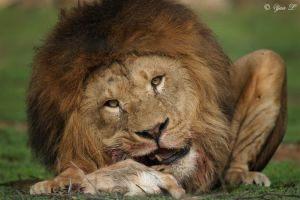 lion up close by Yair-Leibovich