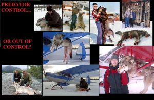 STOP AERIAL WOLF HUNTING by RayneWolfspeaker