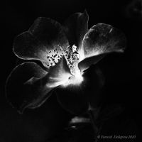 BW flowers by YannickDellapina