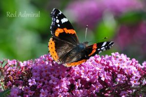 red Admiral by scarletlady777