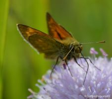 Butterfly by Efox-photography