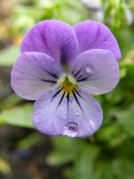Another Purple Raindrop by Lonesome-Lion