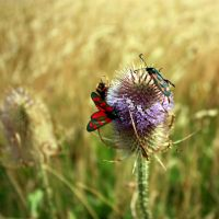 A Teasle Flower With Moths by aegiandyad