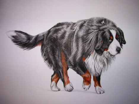 bernese mountain dog by Nikapear