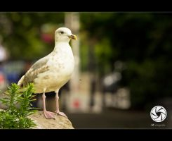 St Stephens Gull by Mfotografie