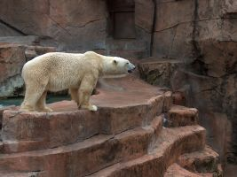 Polar Bear Stock3 by Gnewi-Stock