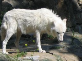 white wolf by silver80