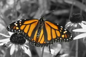 Monarch in Sight by Michies-Photographyy