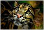 Clouded Leopard by asymons