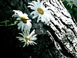 Daisies by coralmcmurtry