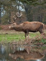 Red Deer Stag 06 - Nov 09 by mszafran