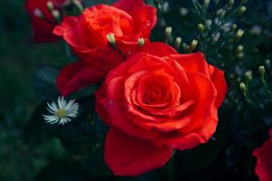 Rose 07 by latrieste