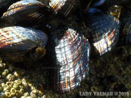 PCH Shells by ladyvalmar