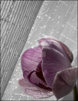 Orchid.. by DessieYo